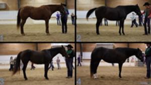 horse judging