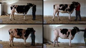 dairy judging