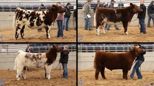 livestock judging